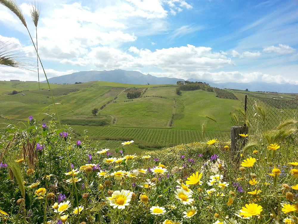 Het groene, met bloemen bezaaide, glooiende landschap in de buurt van Alcamo (mei 2014)