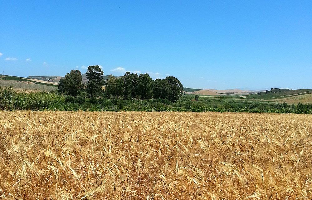 Een graanveld in het binnenland van Sicilië
